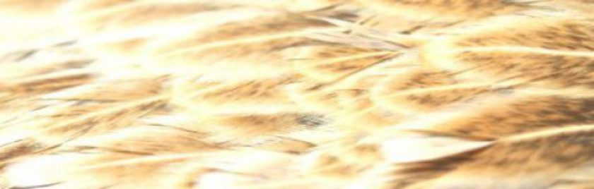 softhackles.com - Header Image
